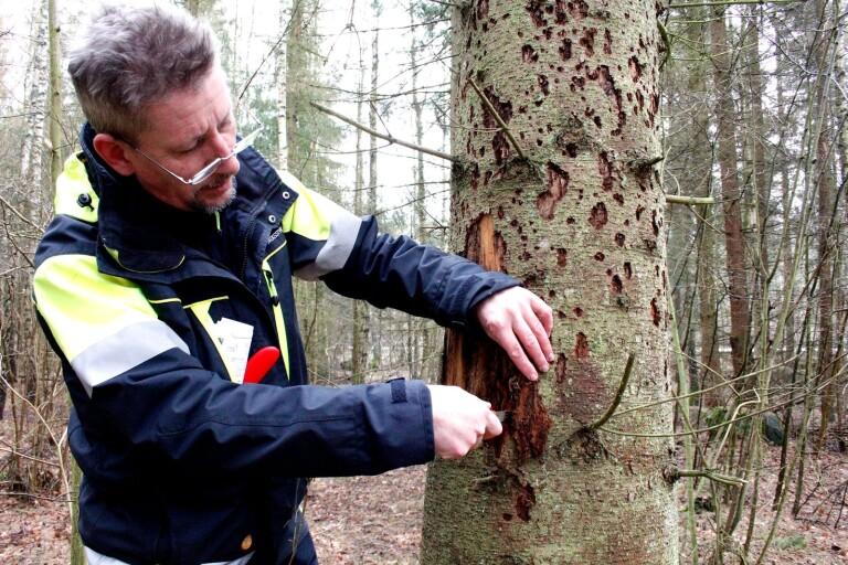Skogsägare kan inte slå sig till ro i kamp mot granbarkborre
