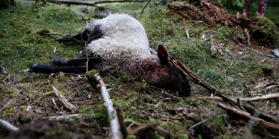 Enligt länsstyrelsen har en varg som rört sig mellan Västa Götaland och Jönköpings län fått till vana att attackera får i området.
