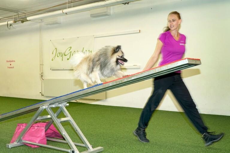 Sandra Glanzén driver Hundspektra i Borås där hon bland annat är instruktör i agility. Här är det hennes egen hund Zorro som besegrar ett hinder.