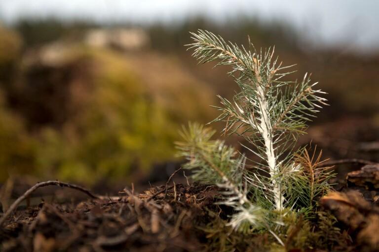 Örjan Riis: Sommarspaning vid en nyplanterad gran