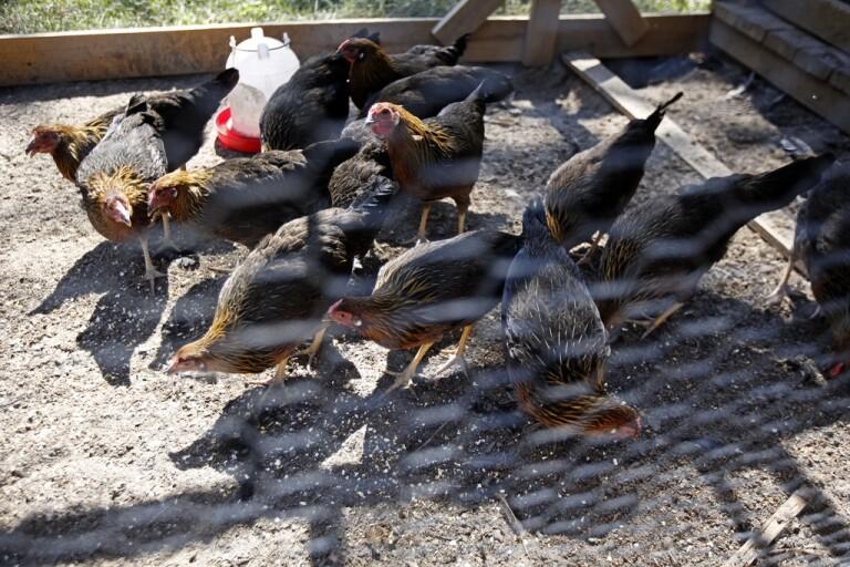 Utegångsförbud för fjäderfän i Norge