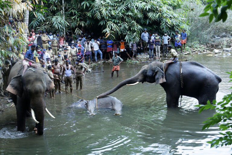 Ett par elefanter står vid en 15-årig elefanthona i Velliyarfloden i delstaten Kerala i Indien. Den dräktiga honan dog efter att ha ätit en kokosnöt fylld med smällare.