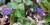 Natur: Blåsippor flyttas för att ge plats för bebyggelse