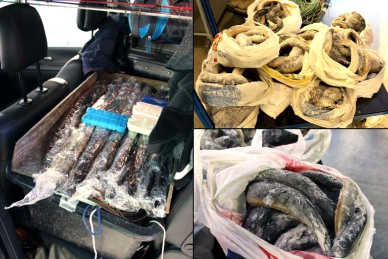 Bilder från beslaget av den frysta ålen.
