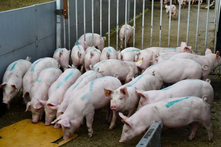 Utbrott av salmonella på grisgård i sydöst