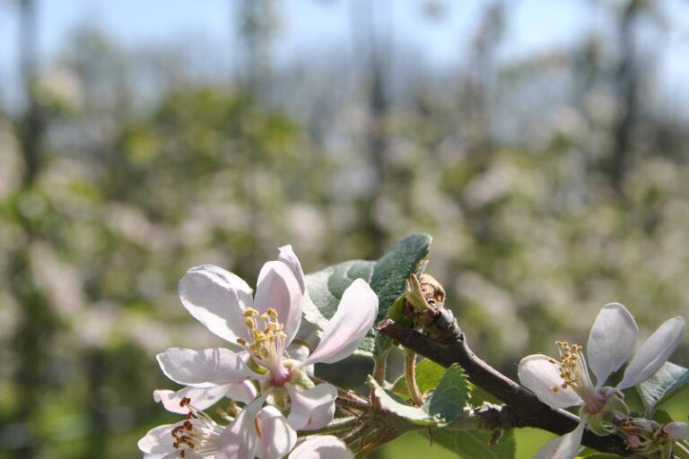 Med traktor och vagn genom blommande äppelodlingar