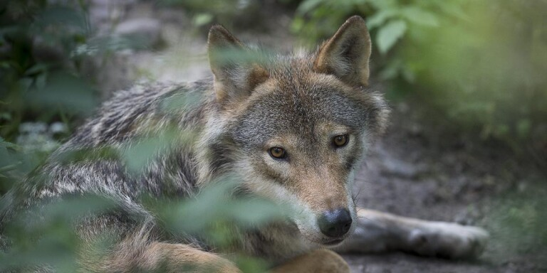 Cleared: Wolf outside Osby may be shot