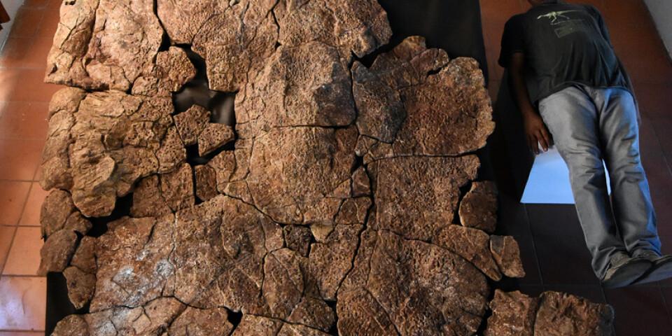 Fossilet hittades i åtta miljoner år gamla avlagringar i Venezuela. På bilden jämför sig den venezuelanske paleontologen Rodolfo Sánchez med sköldpaddans ryggsköld.