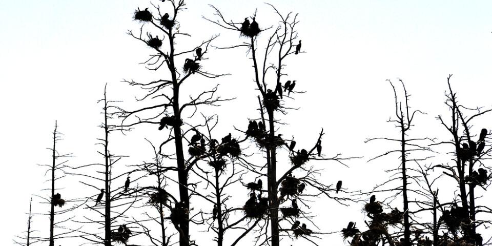 Skarvar är flyttfåglar som häckar i kolonier, i träd eller på marken. Arkivbild.