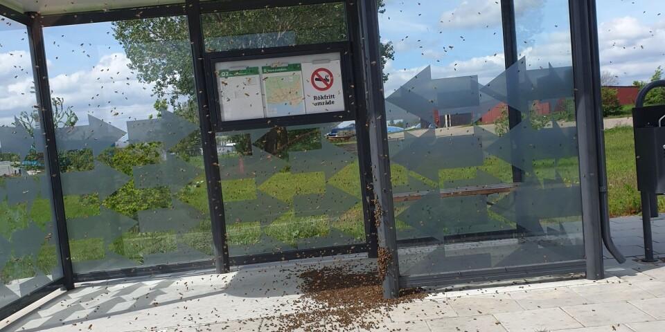 Cirka 30 000 bin svärmade i en busskur på Militärvägen. Nu har de flyttat till Sven Svensson i Öja.