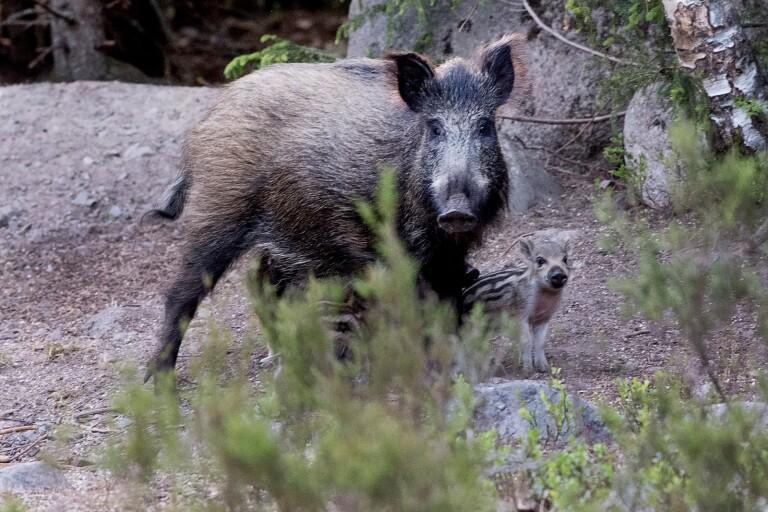 Förslag: Köp in fällor för vildsvin