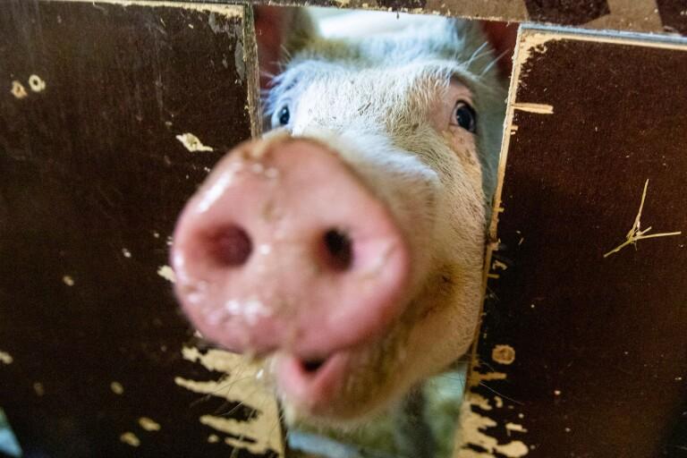 Insändare: Varför äta grisar?