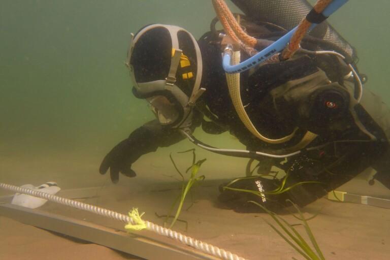 Ålgräs ska rädda sydkustens stränder - häng med ner i vattnet