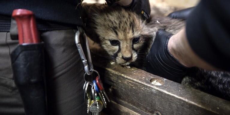 TV: Här är djurparkens senaste tillskott – fjärde kullen på fyra år