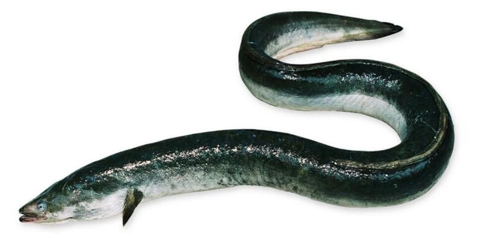 Ålen är akut hotad. Det var först i början av 1900-talet som forskare lyckades hitta var ålens lekte, i Sargassohavet. Arkivbild.