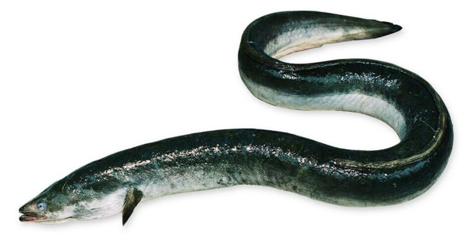 The eel is critically endangered. It was not until the beginning of the 20th century that researchers managed to find the eels hangouts in the Sargasso Sea. Stock Image.