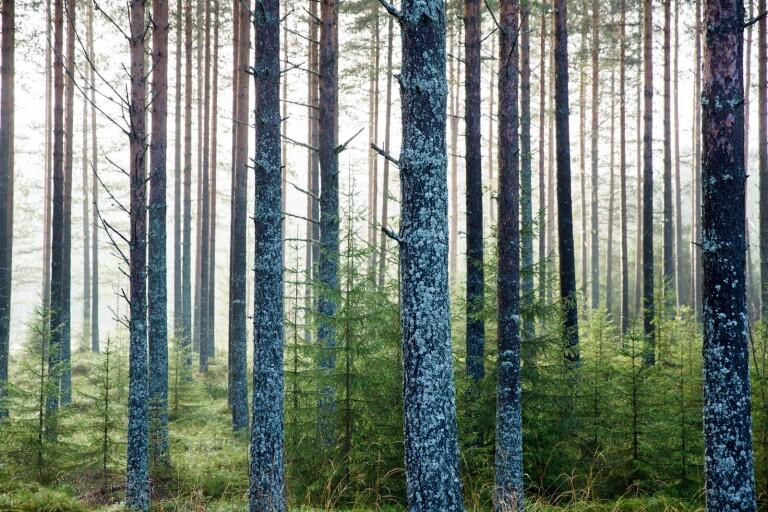 Mera tall - en viktig del av skogsstrategin