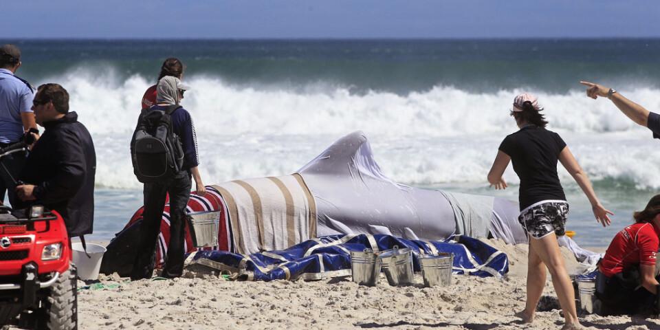I Australien pågår träning på en uppblåsbar grindval för att kunna hjälpa framtida strandade valar, likt denna val som strandade strax utanför Kapstaden i Sydafrika 2013.