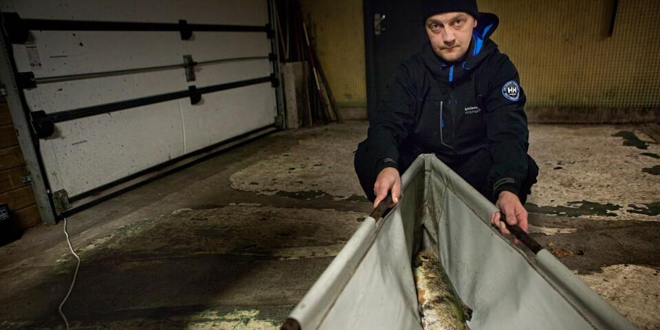 Fiskevårdsarbetaren Henric Persson med en av de tiaminbristdrabbade Mörrumslaxarna.