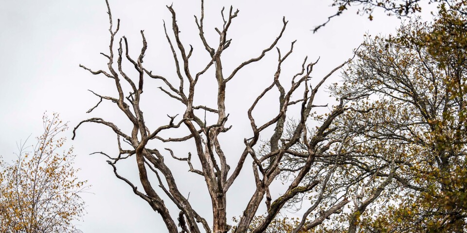 """""""Man brukar säga att en ek växer upp under 300 år, lever i 300 år och dör i 300 år"""" säger Annika Lydänge från länsstyrelsen."""