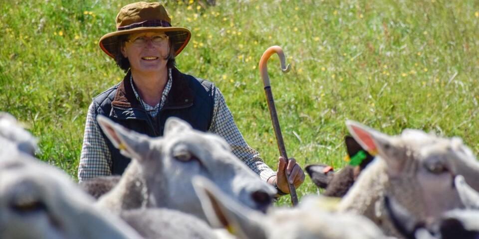 Ingela Mauritsson bjuder in allmänheten till herdevandringar i Kåsberga i sommar. Hon började med fårvallning 2009 när hon köpte sina första bordercollies och fastnade för sporten. Idag anordnar hon såväl egna tävlingar som kurser och tävlar själv på hög nivå med sina hundar.