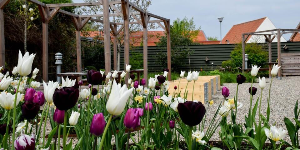 Årets lökplantering i Österlens museums trädgård visas.