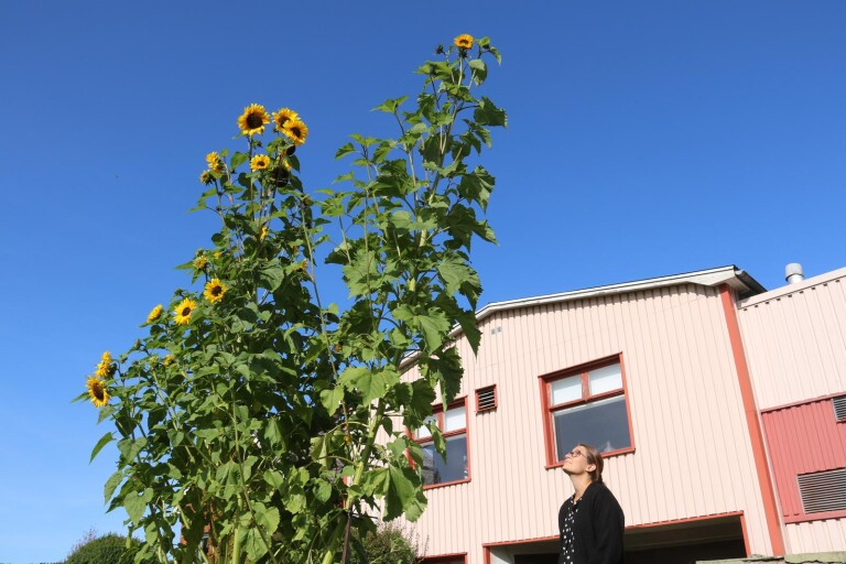 """Ottilia odlade den högsta solrosen – """"En måttstock räckte inte för att mäta"""""""
