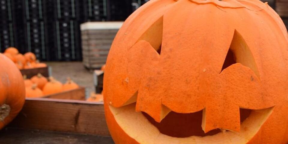 Halloweenpumpan är en av de populäraste sorterna.