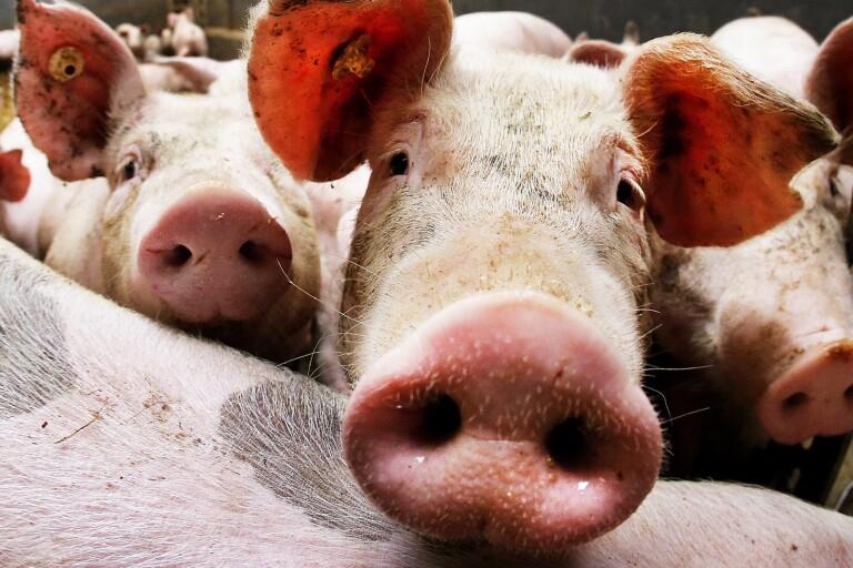 Nära 5000 grisar har avlivats på grund av att salmonella upptäckts på flera skånska gårdar.