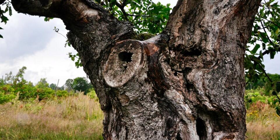 Ett av de gamla ihåliga träden vid Östersken.