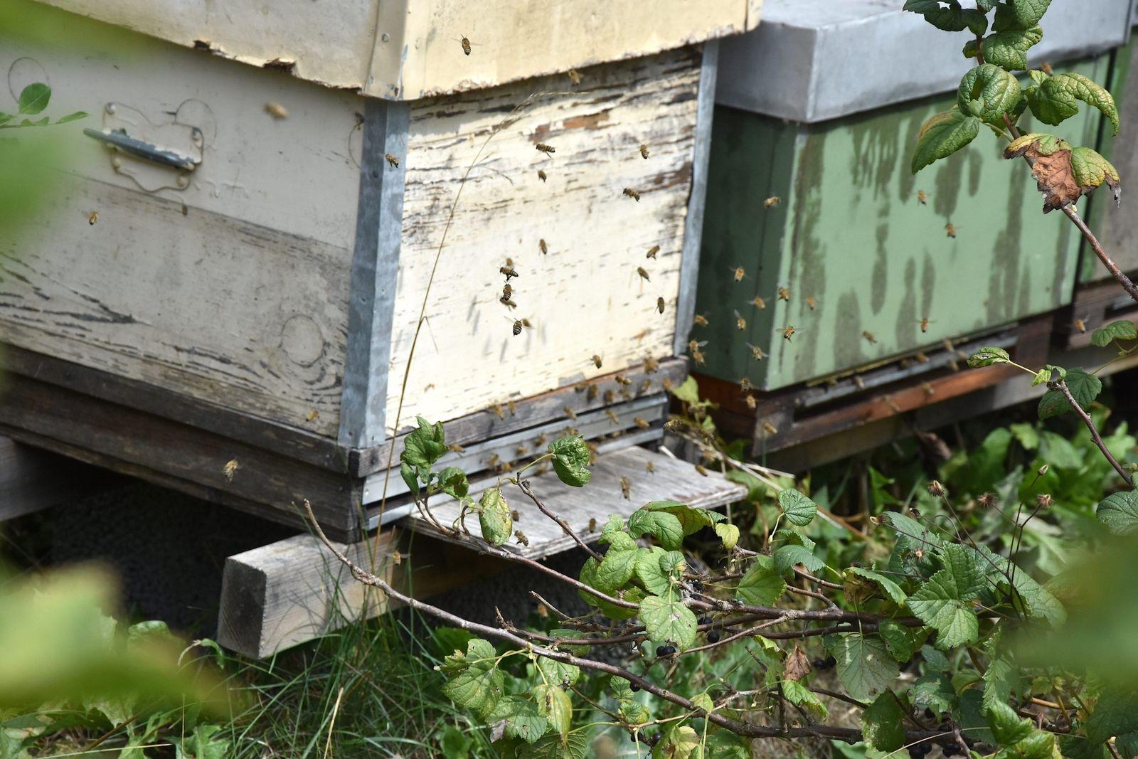 De unga bina hovrar utanför kupan för att lära sig var hemma är, så att de ska kunna hitta tillbaka när de väl ger sig ut på uppdrag i närområdet.