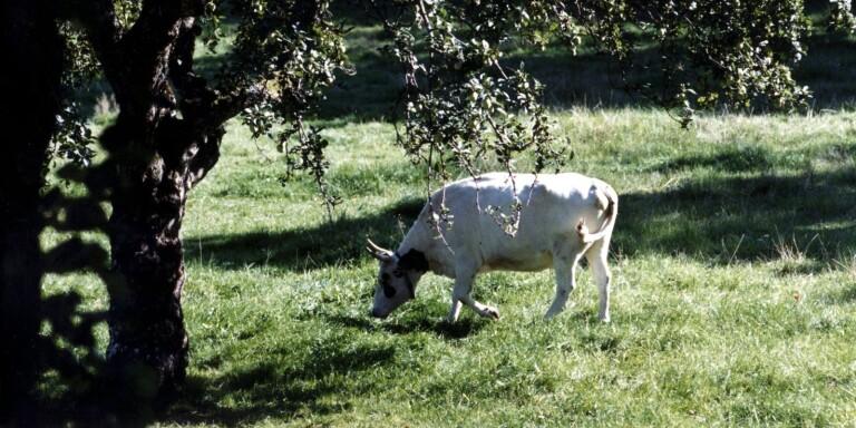 """Lantbrukare hotas av böter för magra kor: """"Jag får väl slå ihjäl dem"""""""