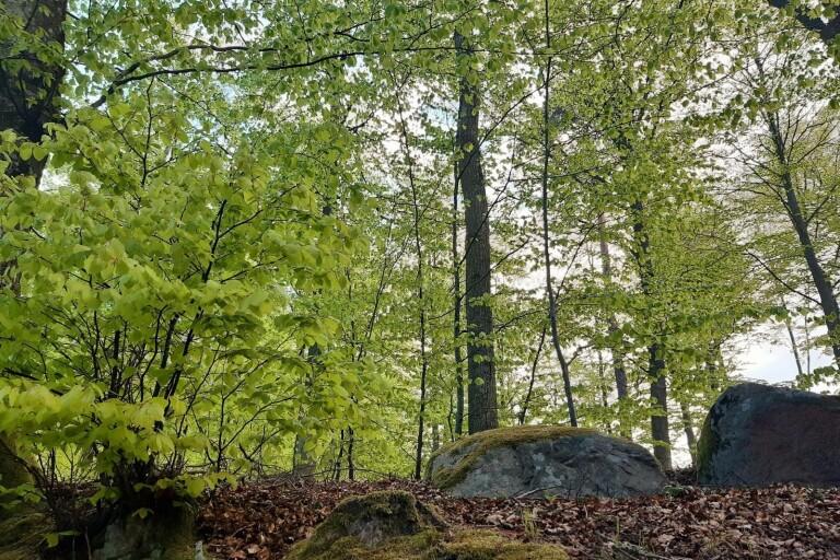 Vändning: Beslut om bokskog kan bli olagligt – skjuts upp igen