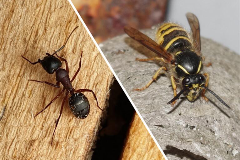Färre getingar än väntat i sommar – men fler myror