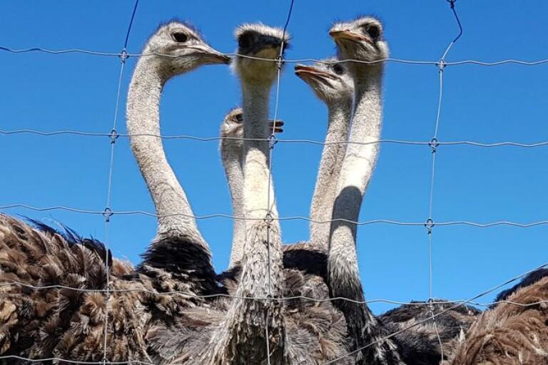 Afrikanska djur tittar fram mellan turistmålen