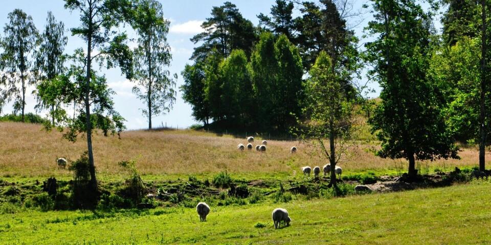 Gården har haft en besättning med gotlandsfår de sista tio åren men från i år betas backarna av får från Haväng.