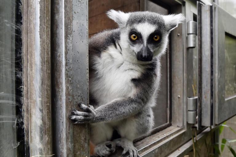 En lemur hölls isolerad under flera månader, dock inte den här krabaten som bor på en djurpark i Duisburg i Tyskland.