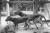 Pungvargar på ett zoo i Hobart på Tasmanien 1918. Det sista kända exemplaret av arten dog för 85 år sedan, 1936.