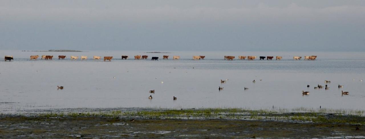 Denna bild togs vid samma tillfälle som vinnarbilden. Här är kossorna på väg ut i Östersjön.