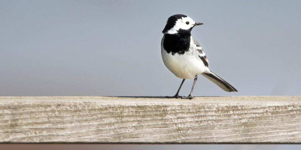Vid Gammalsby sjömarker finns gott om både ovanliga och vanliga fåglar. Här trivs sädesärlan, datumflyttaren som kommer år efter år vid ungefär samma tid.