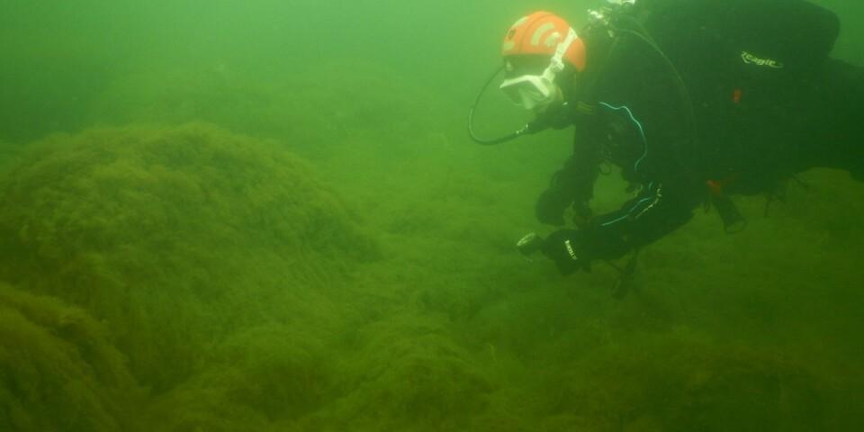 Dykare med cyanobakterier utanför Kantarellen