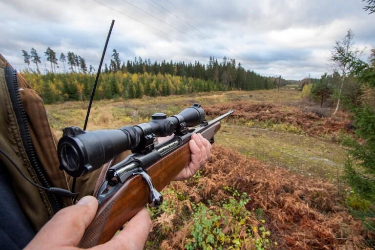 Öland har senare älgjakt för att få så många jägare ute i skogen som möjligt.