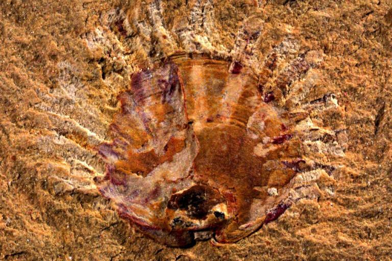 Fossil av armfoting med spår av parasiter (ljusa streck).