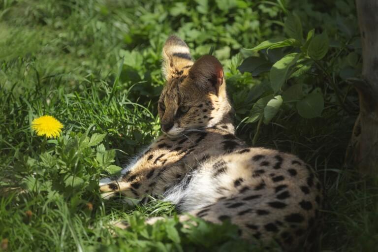 Afrikanskt kattdjur hittades i bostad i Nybro – avlivades