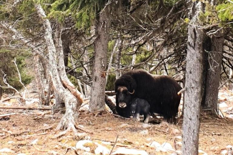 Den nyfödda kalven med mamma Helga.