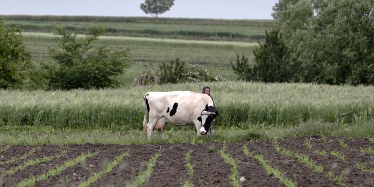 En väljare och hennes boskap i orten Deveselu i Rumänien. Arkivbild.