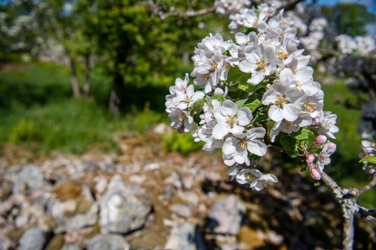 Riklig blomning i fruktodlingen