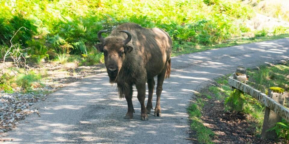 Flera av safariparkens djur vistas i området, inte minst visenterna som betar en bit nedanför berget.