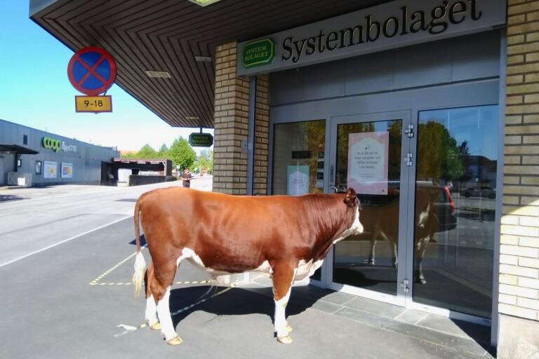 Tjuren visade starkt intresse för Systembolagets butik.