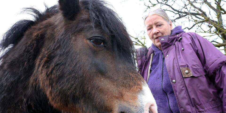 Kan den irländska Kerry Bog Ponnyn vara släkt med den utdöda hästrasen Öländsk Kungshäst? Marie Sundqvist undersöker detta och har hjälp av SLU i sin forskning.